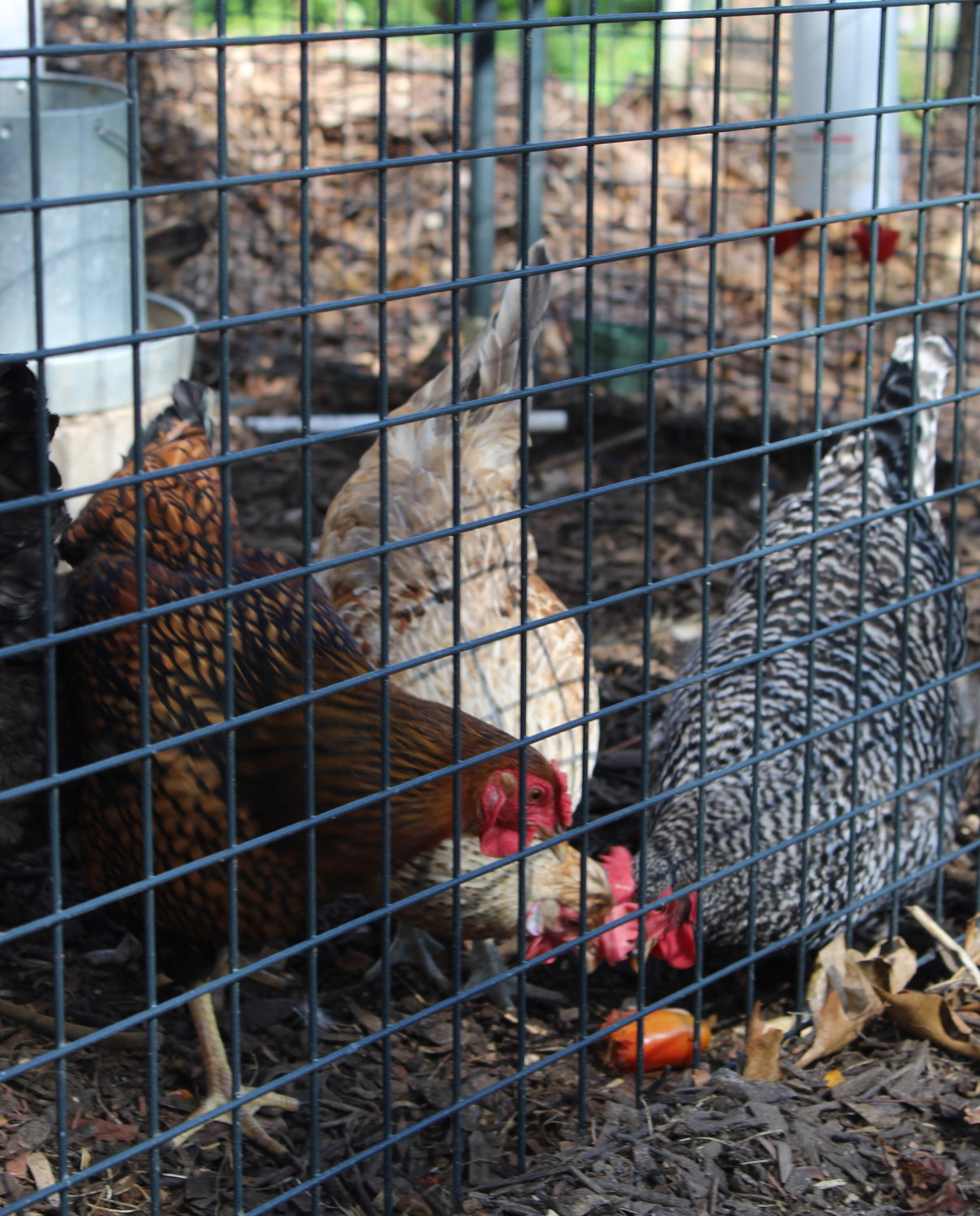 The chickens feasted on freshly-harvested tomatoes picked from the garden just minutes before.
