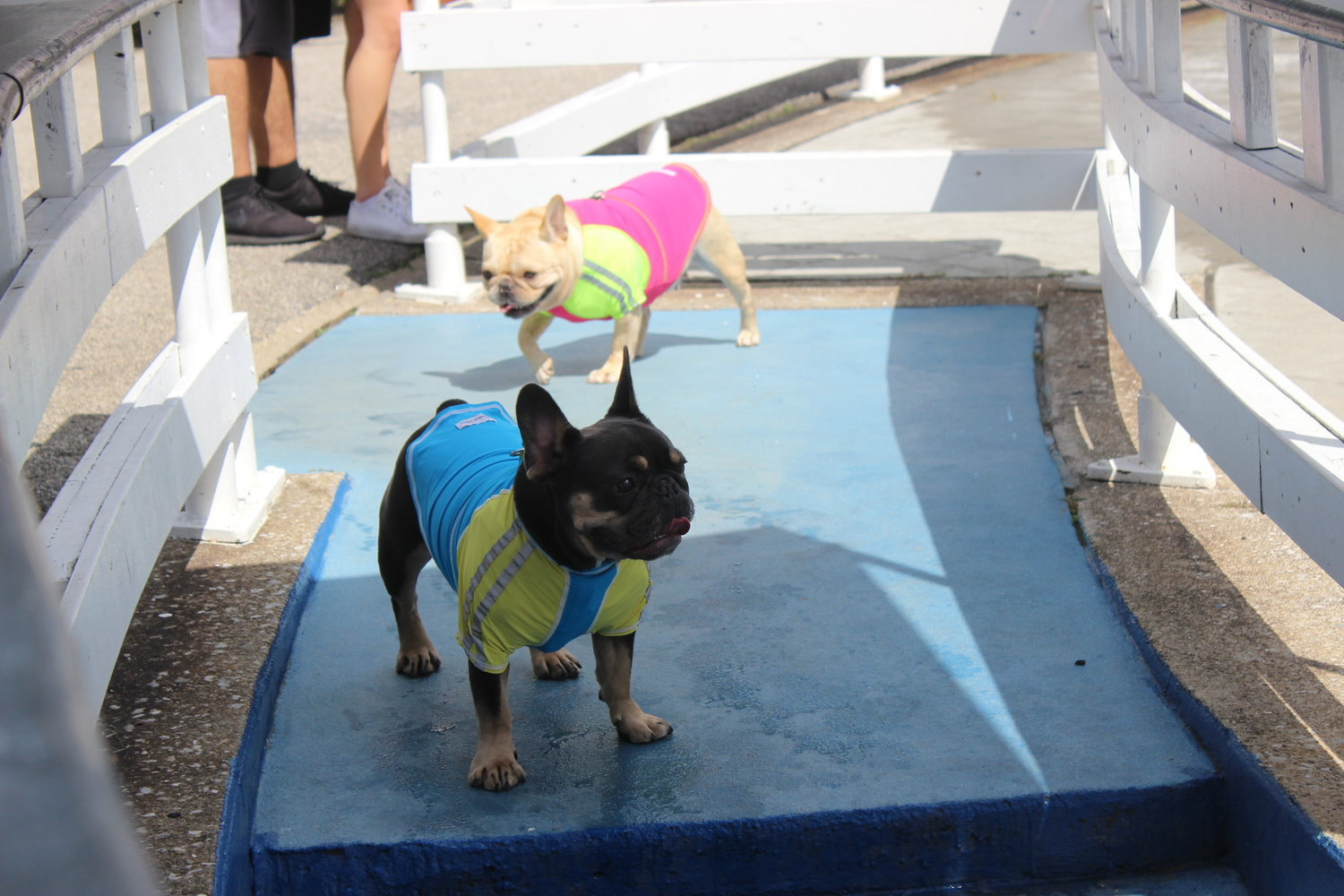 French bulldogs Caeser, 2, bottom, and Frenchy, 6, sported their favorite swim shirts as they splashed in the water.