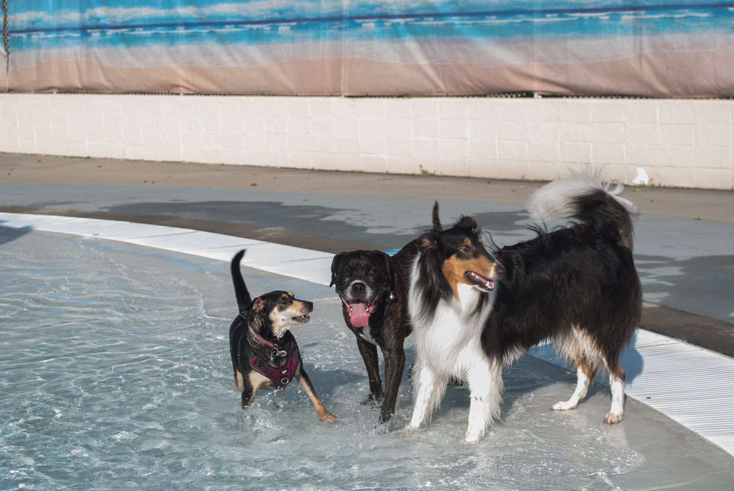 Amaya, from left, Blaze and Kylo showed off their angles at Valley Stream's annual Doggie Pool Party on Sept. 8.