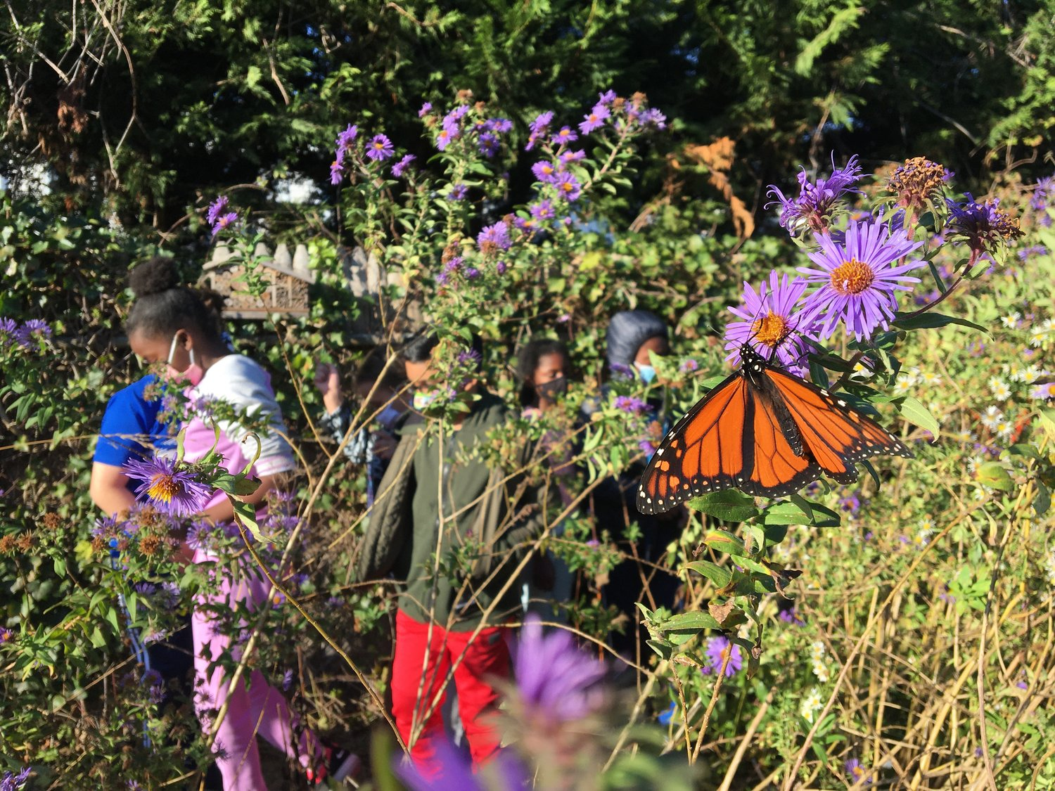 A Monarch butterfly danced around the milkweed in the Meadow Elementary School garden on Nov. 5.