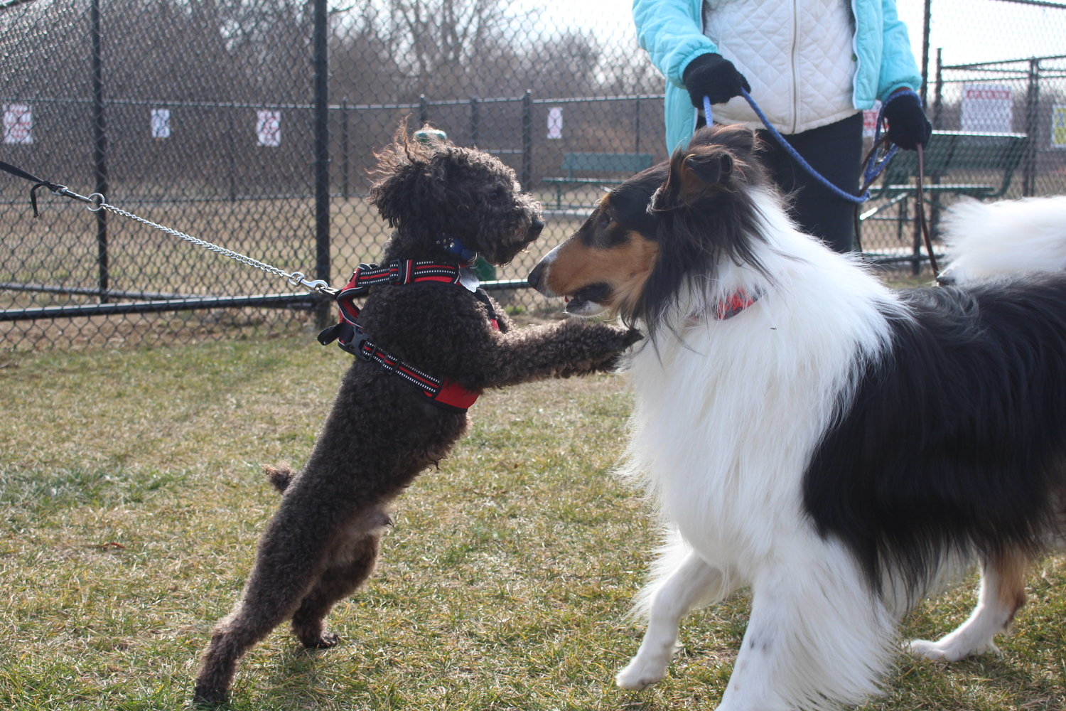 Town of Hempstead Councilman Tom Muscarella's dog, Junior, left, played with a Valley Stream resident's dog, Kylo, at the grand opening of the Baldwin Harbor Town Park dog run on Jan. 15.