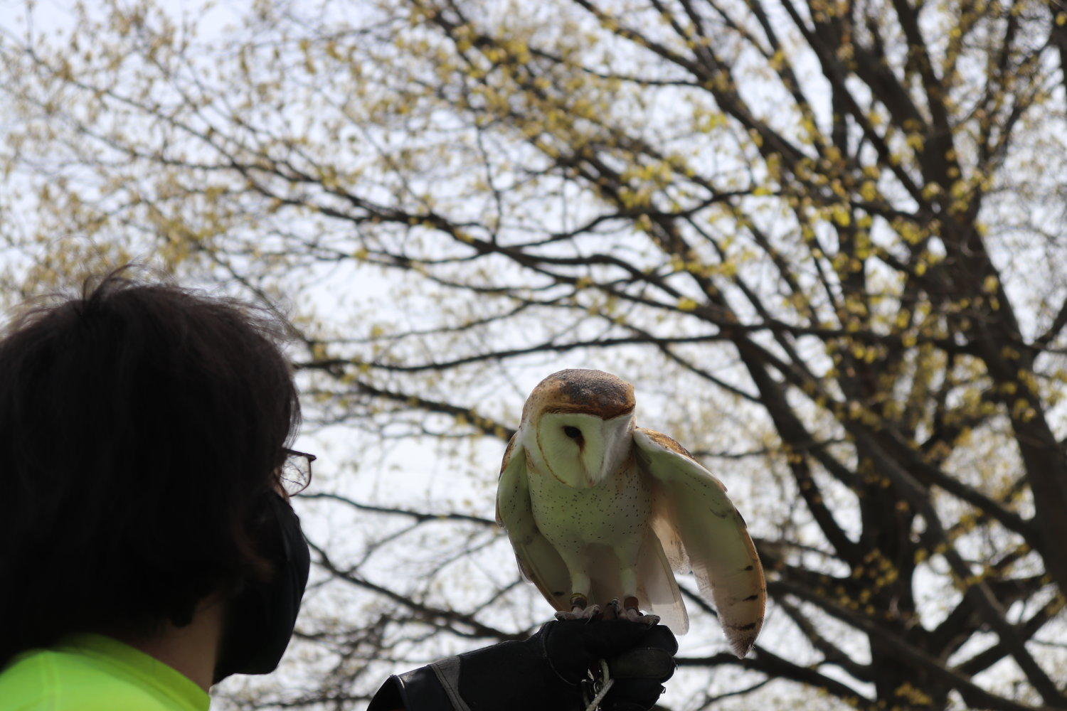 Tackapausha Museum and Preserve employee Sam Hammel introduced guests to a barn owl named Cosmo at the museum's annual Earth Day celebration last Saturday.