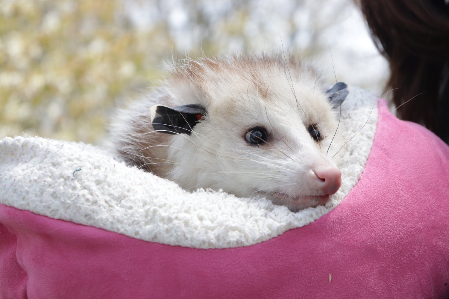 Visitors were encouraged to love opossums instead of fearing them as they greeted Clover, one of Tackapausha's newest inhabitants.