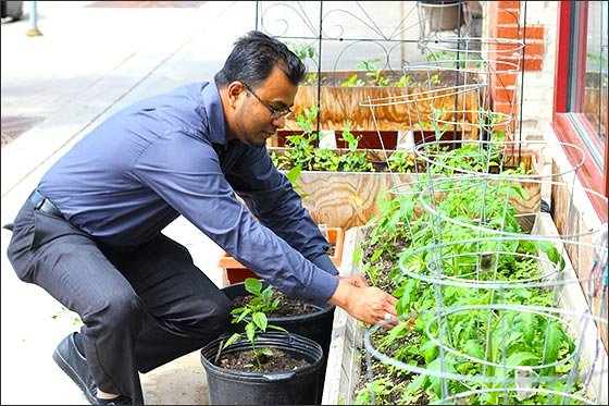 Gandhi Mahal owner Ruhel Islam tends the tomato plants growing on the sidewalk outside the restaurant. This year, Islam has 12 garden plots scattered throughout the city. (Photo by Tesha M. Christensen)
