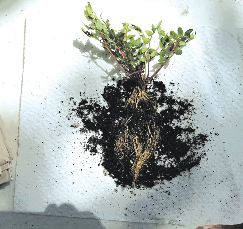 Sample photos from Julie Vanatta's bare root clinics. She photographs each plant as part of her studies, then preps them for sharing. Some plants only need a wet paper towel, others require addition of soilless potting medium to reduce stress. Botanical names: Obedient plant (Physostegia virginiana), and Jacob's ladder (Polemonium reptans).