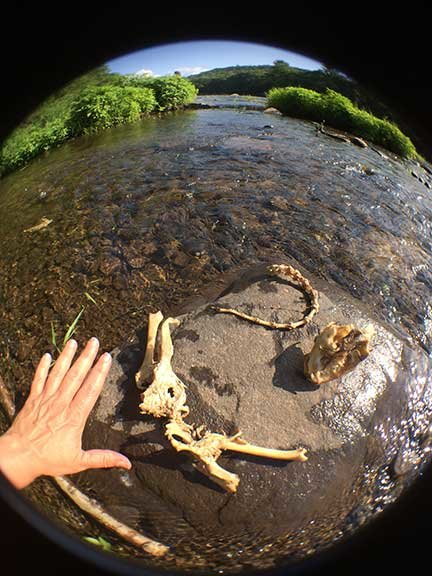 TRR photos by Sandy Long      In addition to the skull, a portion of the raccoon's spine and tail, as well as part of its hip structure were also nearby. My hand lends perspective to the relative size of the bones.