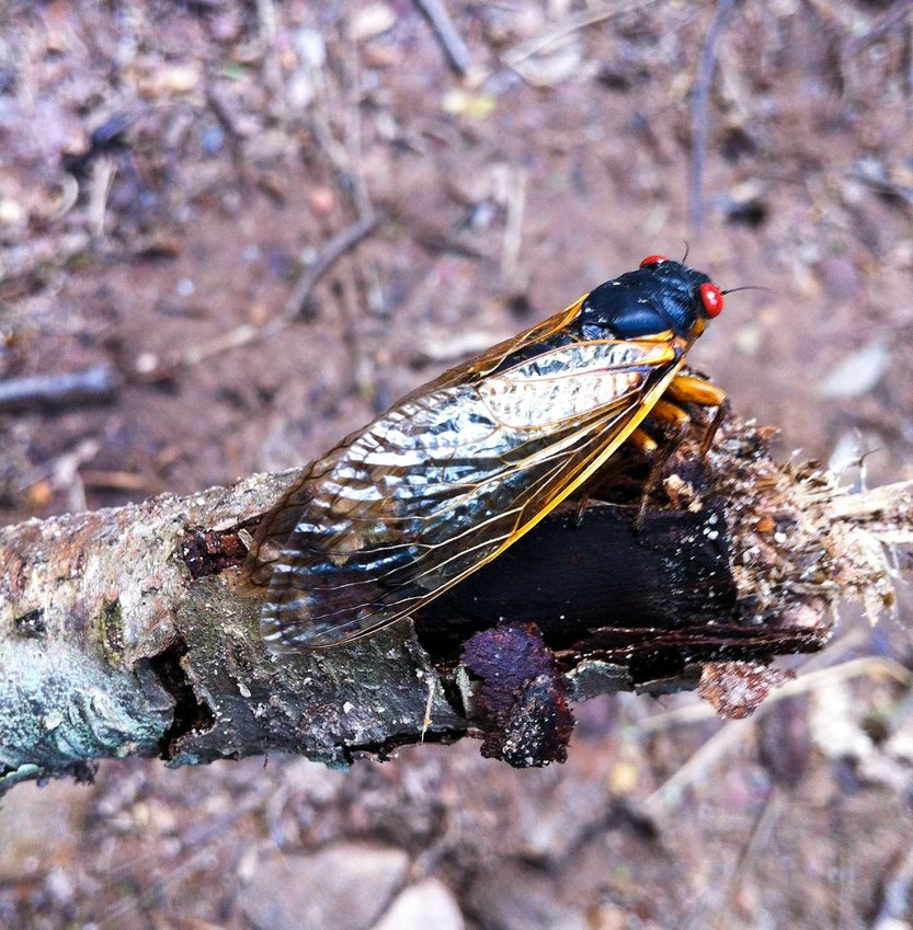 TRR photos by Sandy Long    This periodical cicada was photographed in 2013 and was one of the new generation of Brood II that emerged in substantial numbers that year, particularly in Staten Island, NY. There are 12 broods in the eastern half of the United States that have a 17-year life cycle and three that mature every 13 years. Thirteen-year broods live mostly in the south, and 17-year broods live primarily in the north. Visit magicicada.org/magicicada/general_information to learn more about periodical cicadas.