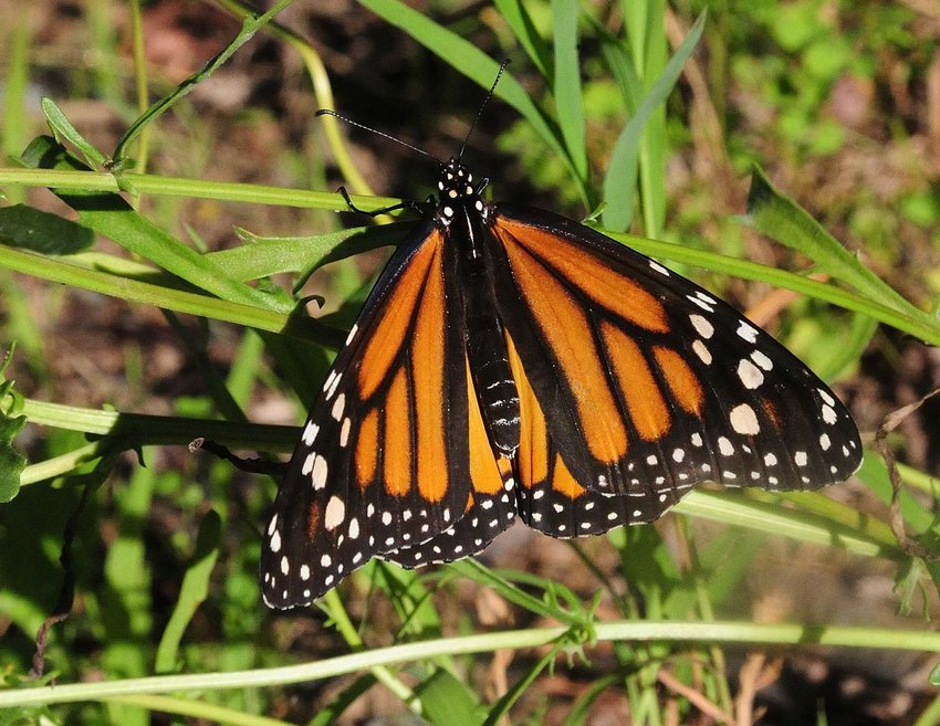 TRR photos by Scott Rando    This is one of several monarch butterflies seen at Shohola Marsh on a day in early August. Most of them were feeding on nectar from the many wildflowers along the access roads. Although I saw lots of milkweed, most of the feeding damage I observed was from milkweed tussock caterpillars, not monarch caterpillars.