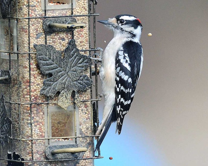 """TRR photos by Scott Rando  The downy woodpecker is the most common woodpecker seen in the region as well as heard. One of its courtship calls is a """"whinny."""" Most woodpeckers can be attracted by seed or suet feeders. This is a male; the females have no red at all on their head."""