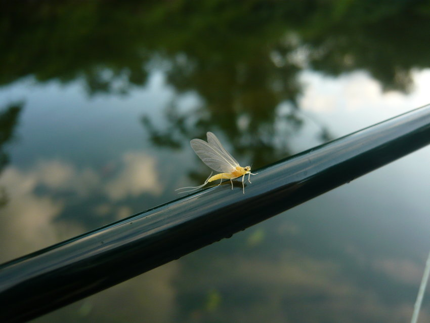 A newly hatched female Sulphur mayfly.