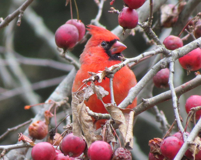 A cardinal adds a bright spot of color in the winter landscape.