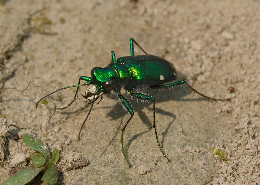 This is the six-spotted green tiger beetle, as seen in Glen Spey, NY. Two of the six spots can be seen on this individual. This insect's long legs enable it to move and change direction quickly on the ground. Also, notice the large mandibles shaped like sickles. These traits make tiger beetles formidable insect predators.