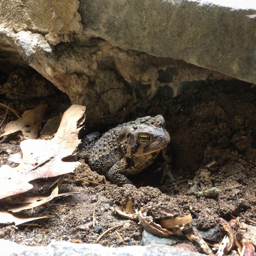 This eastern American toad cools off in the damp, shallow cavity it excavated in the crawlspace beneath our house.