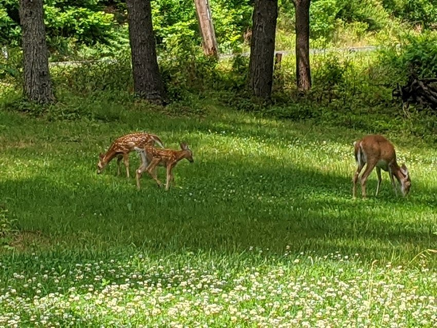 Two fawns with their mother.
