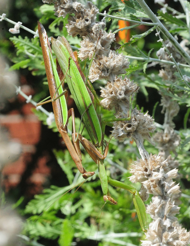 This is a pair of mantises found in Shohola on September 18. The male is to the left and on top of the female. This pair was coupled for at least 20 minutes. Female mantids are slightly larger than the males and display a distended abdomen due to its egg mass during late summer.