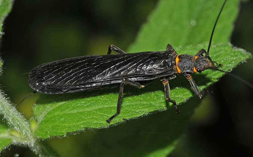 A western salmonfly.