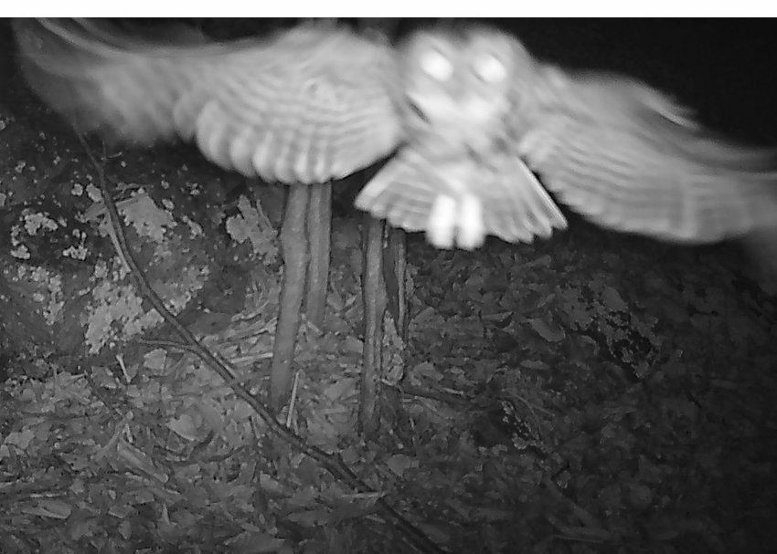 A saw-whet owl flying nearby triggered this self-portrait. In this image, the owl is too close for a good focus. It may have seen the trail cam or the illuminator and decided to check it out. Saw-whets are the smallest owl in our region, even smaller than the screech owl.