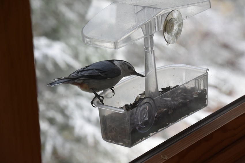 Opportunities abound to participate in citizen science projects pertaining to birds like this white-breasted nuthatch. Project Feeder Watch (www.feederwatch.org) is ongoing through Friday, April 9. (Also see www.celebrateurbanbirds.org.) Take part in the Great Backyard Bird Count from Friday to Monday, February 12 to 15. Learn more at www.birdcount.org. All are projects of the outstanding Cornell Lab of Ornithology (www.birds.cornell.edu/home).
