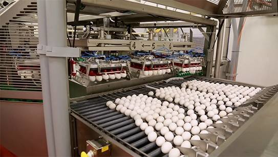 The Newburg Egg processing facility, a family-owned business dating back 50 years, processes eggs that are distributed nationwide.