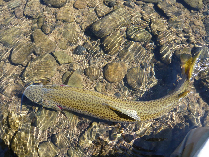 A nice brown trout ready to be netted.