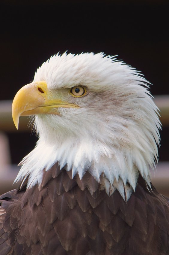 A bald eagle, native to these parts.