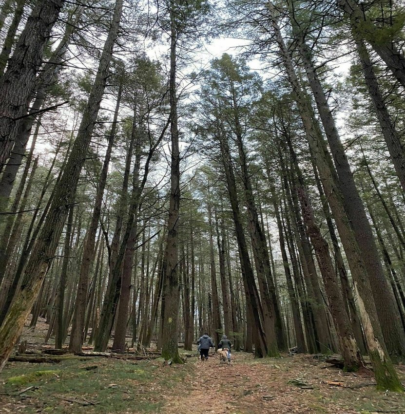 A majestic grove of hemlock trees on the Damascus Forest trail.