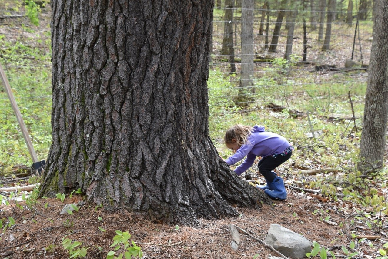 Juniper examines the base of a massive white pine growing outside an enclosure where American chestnut trees have been planted in an attempt to reintroduce the tree, which was an economically and ecologically important species before being destroyed by a non-native pathogen in the late 1800s.