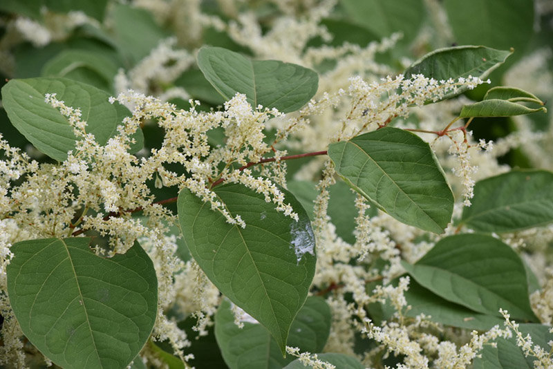 Japanese knotweed is one of the most prevalent invasive plants impacting the Upper Delaware River region. Its showy white flowers and bamboo-like stalks make this abundant invasive easy to recognize.