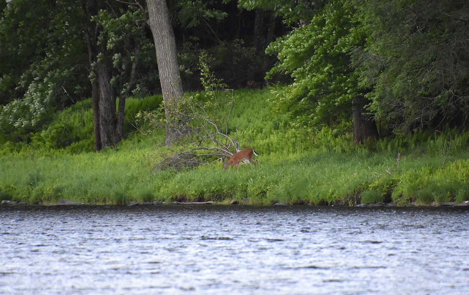 A white-tailed deer peacefully grazes along the river's edge.