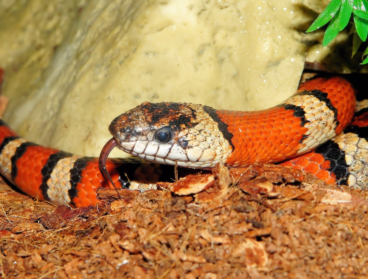 File photo - The colorful king snake, while the reverse of ugly, is a mixed bag in terms of garden health—it will prey on unwanted small animals that get into your garden, but also on helpful birds and frogs.