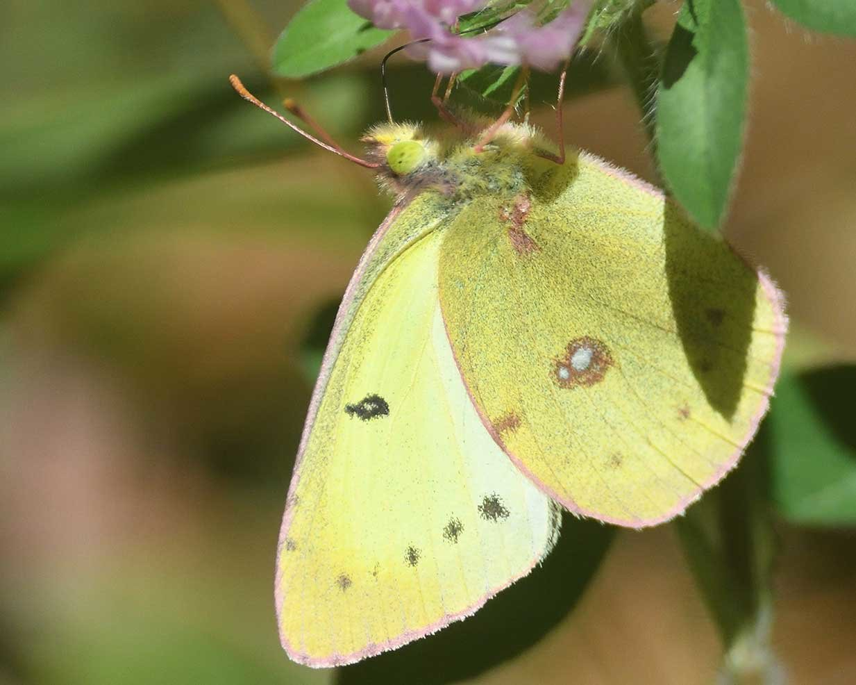 The clouded sulphur is slightly larger than the commonly seen cabbage white butterfly. Clouded sulphurs can be seen on a variety of wild plants and may be one of the most common butterflies in your yard. They have been seen well into November during milder falls.