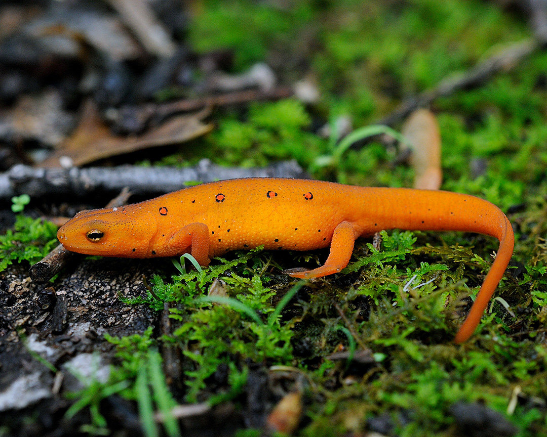 This newt is in its bright orange-color phase. In late April or May, these can be spotted on shady forest trails, especially after a rain.