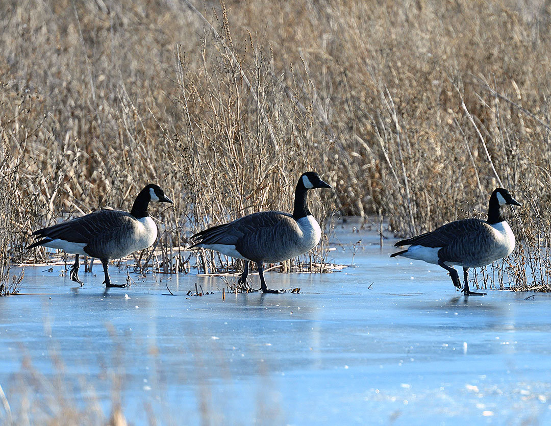 Due to mild weather, part of the open water at Liberty Marsh was open. That attracted a variety of waterfowl including Canada and snow geese, mallard and pintail ducks and a swan.