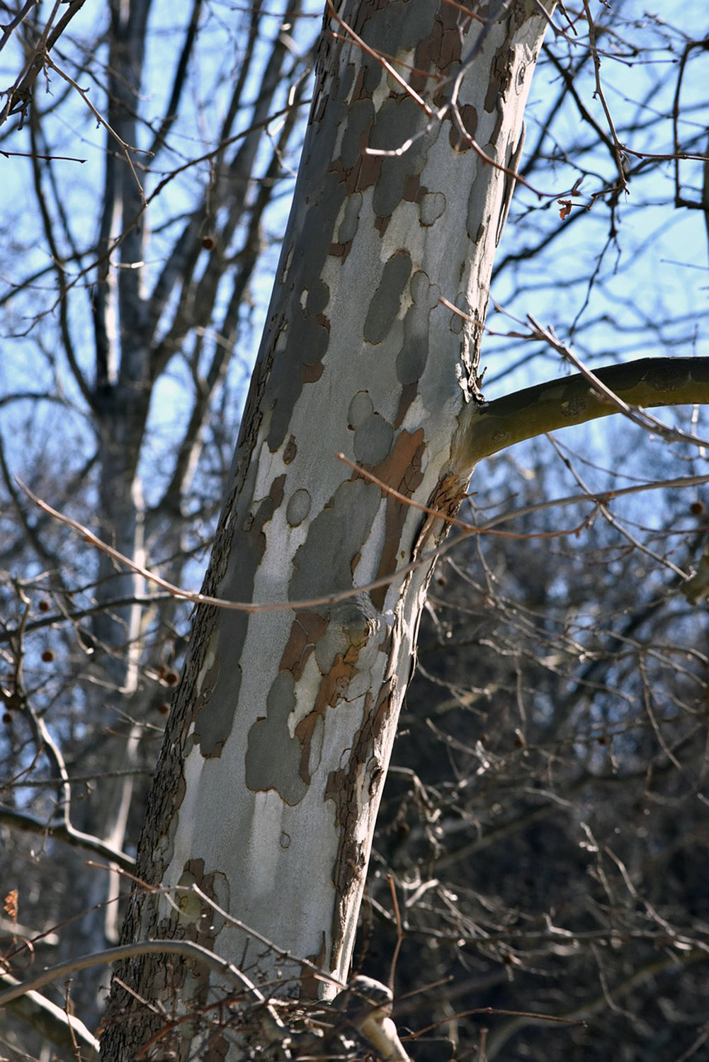The artful bark of the sycamore tree is unmistakable.