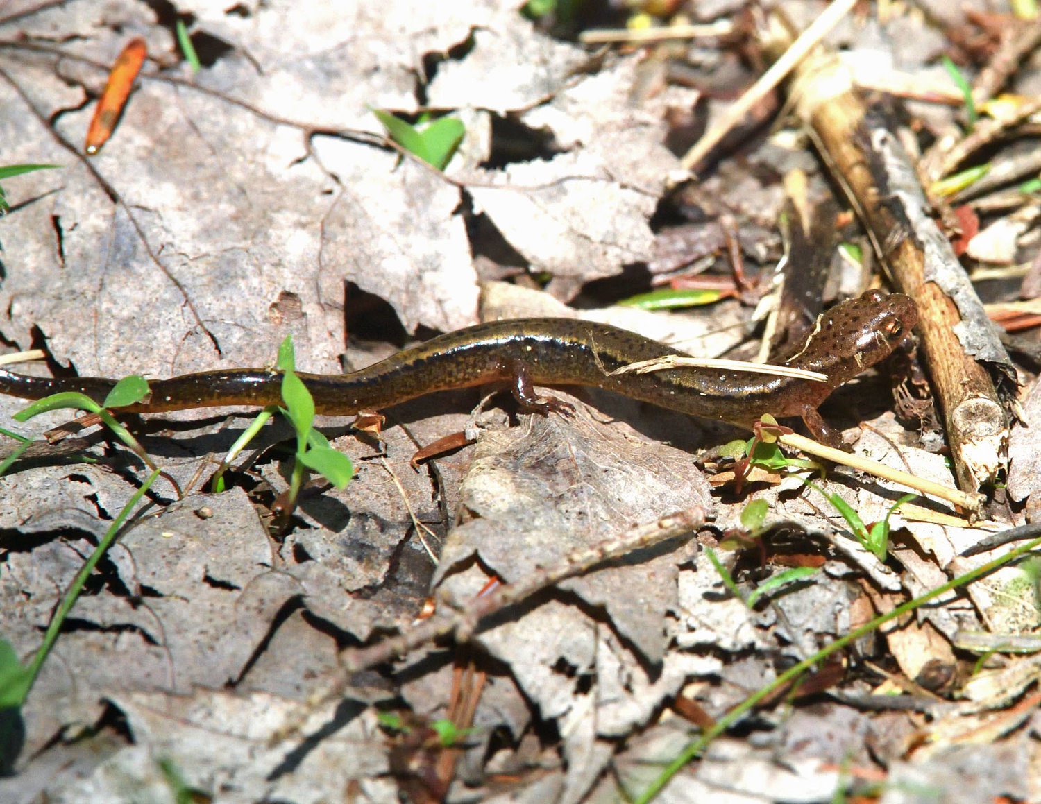 The two-lined salamander, also known as a brook salamander, is a member of the Eurycea bislineata. They are brown with two dark lines that run down either side of the vertebrae. Between the black stripes is a medial strip of light brown that can appear iridescent. This species is also found near brooks, though usually not in the stream bed.