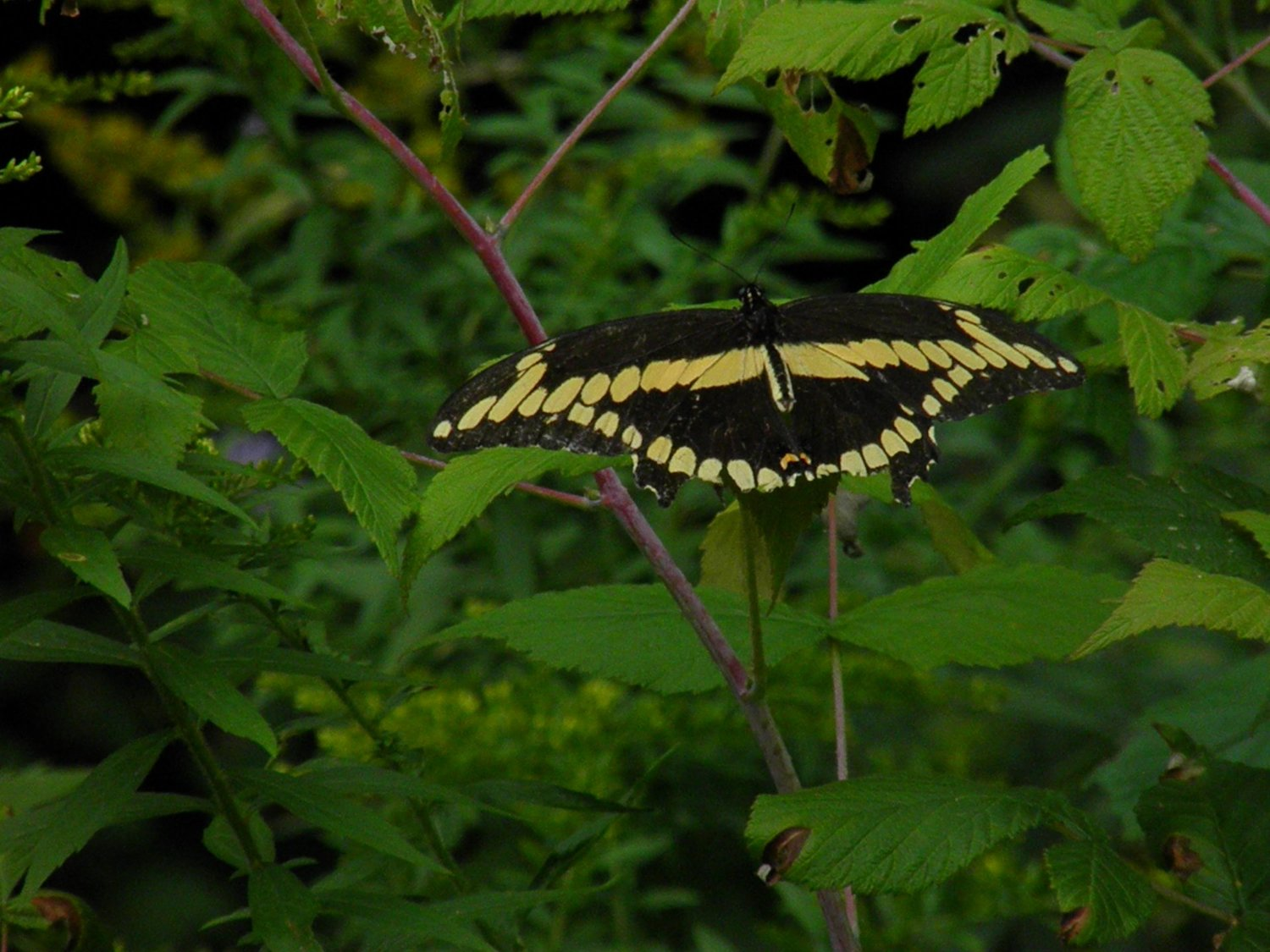 I saw my first giant swallowtail this summer.