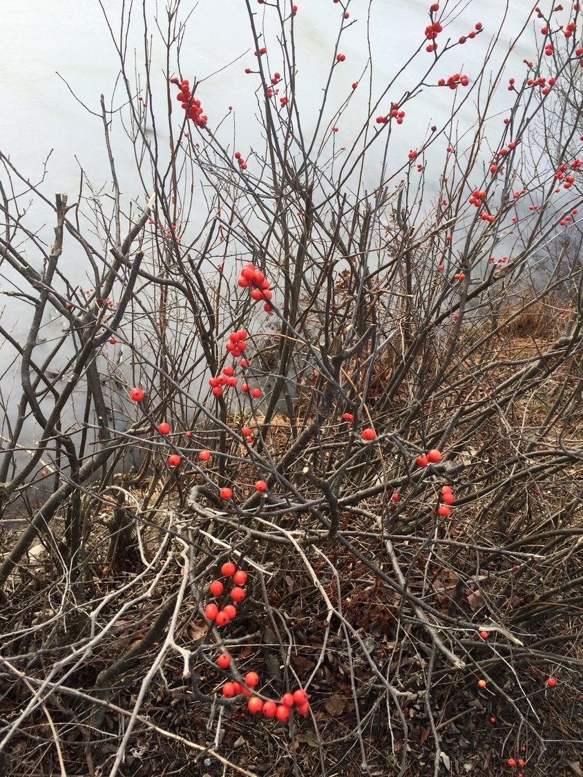 "The natural world provides a portal to a deeper understanding of the self, as explored in my poem to the right, ""Winterberry,"" and this photo of the berries brightening the winter landscape."