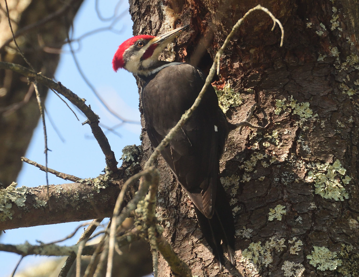Woodpeckers Knocking On The Door The River Reporter