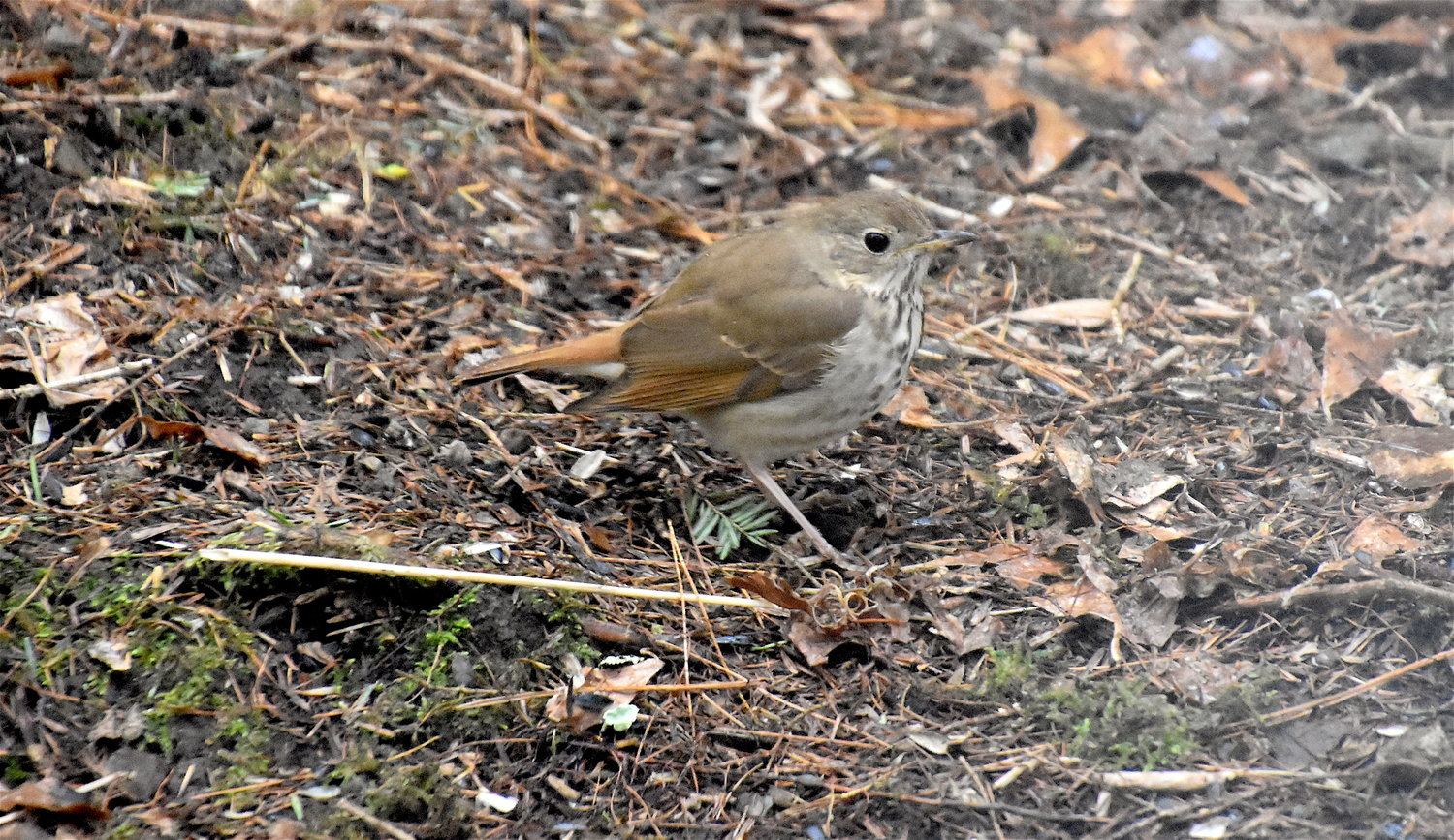 The hermit thrush is a round-bodied brownish bird with a notably reddish tail and thin white eye-ring. Its throat is mottled with spots that fade to smudges on its pale underside.