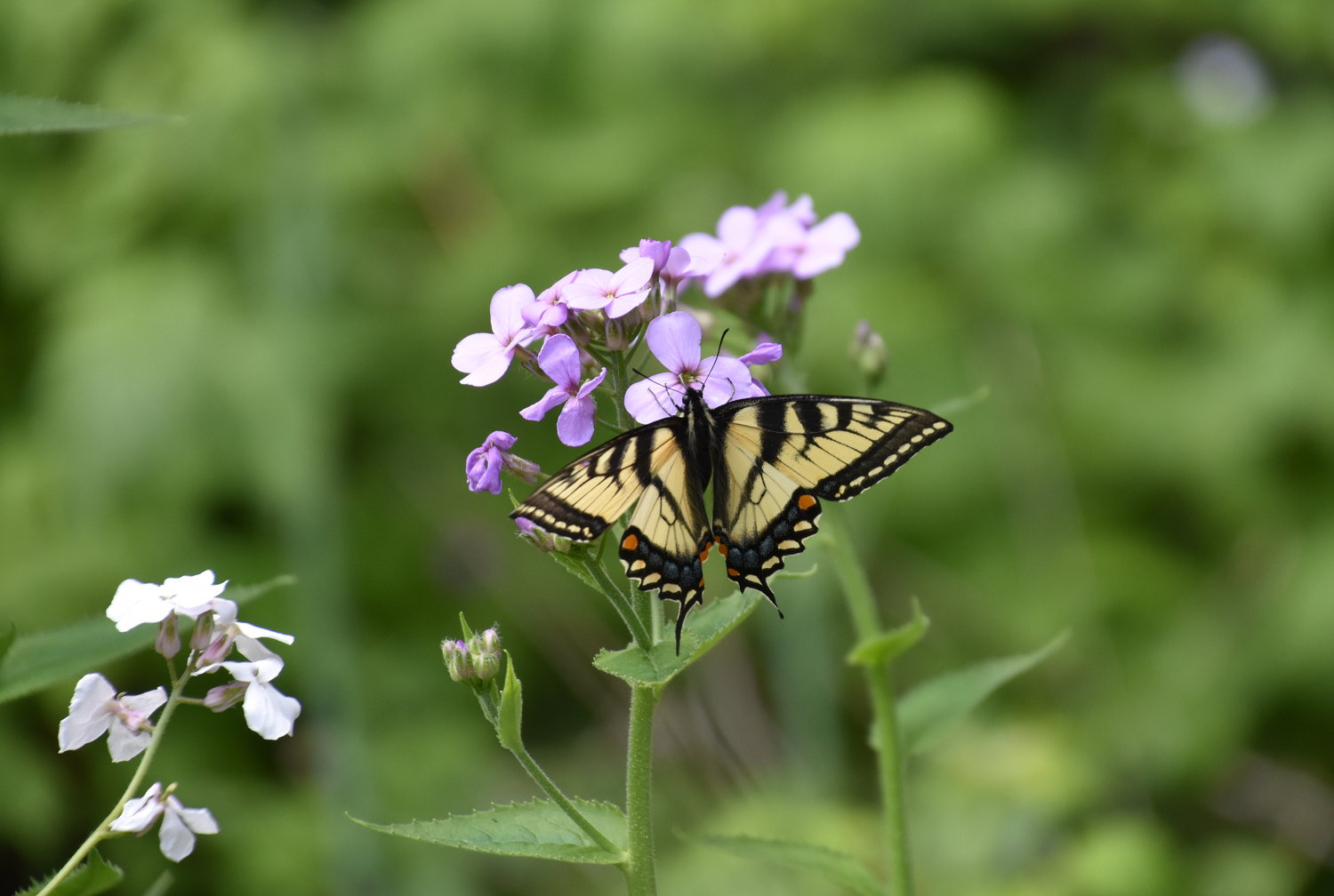 Flower power! An Eastern tiger swallowtail butterfly seeks nectar from the purple flowers of Dame's Rockets now blooming in the Upper Delaware River region. Adults also favor the nectar of milkweed blossoms and Joe-Pye Weed during the summer.
