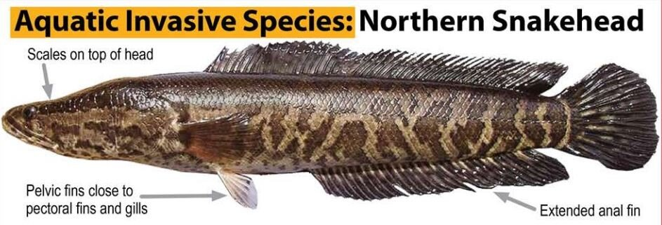 The Northern Snakehead is an invasive species that should be caught, killed, frozen and reported.