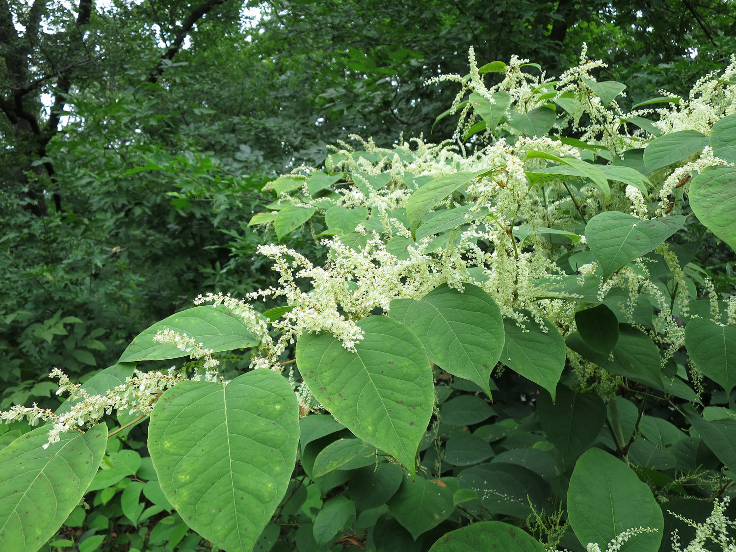 Japanese knotweed flowers in early September. Many parts of the Japanese Knotweed plant can be used in creating medicinial tinctures.