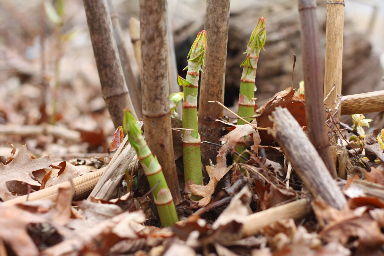 Japanese Knotweed dies back each fall and sends up new shoots in the springtime. The shoots are tasty and cutting them continually is one way to weaken the rhizomes under the surface.