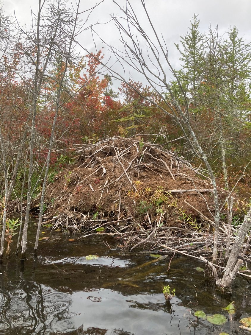 This beaver lodge was one of five we encountered around the perimeter of White Deer Lake.