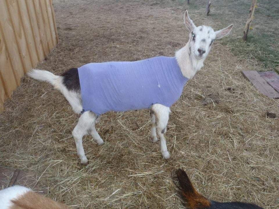 Floyd, an Alpine goat, would shiver if the temperature dropped below 10 degrees, so he needed some layers.