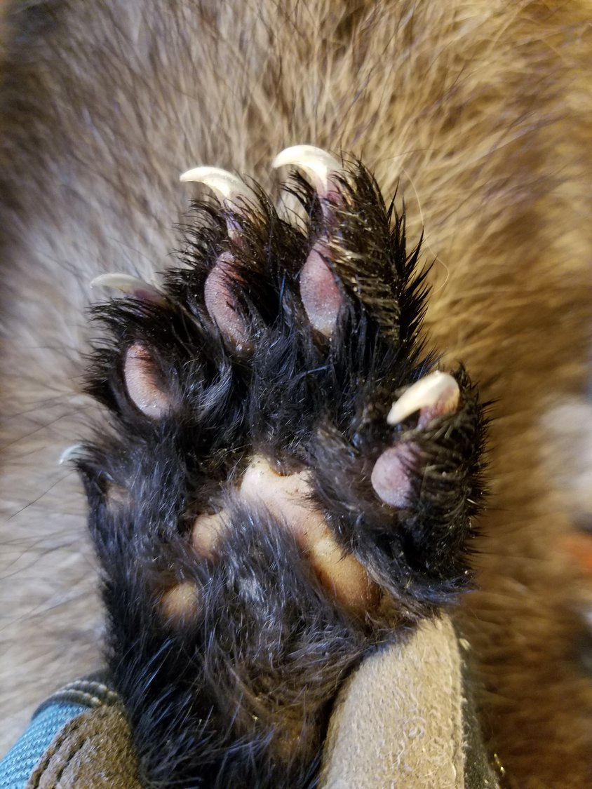 These dexterous clawed paws make fisher cats distinctively capable of climbing trees both straight up and straight down.