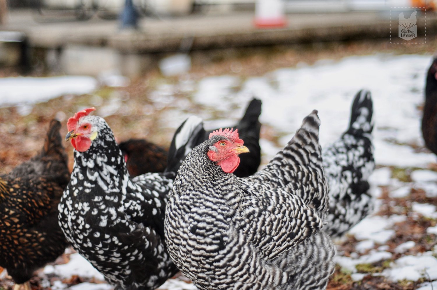 "Tomy, the Ancona on the left, and Sassy, the Barred Rock at center, are totally over it. They say, ""Enough with the pictures and the talking; get your chickens already! You'll see how much fun we are!"""