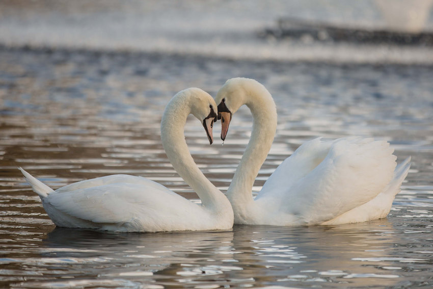 Two swans come together on New Year's Day at Swan Lake-Iris Gardens in Sumter. Micah Green placed second in pictorial.